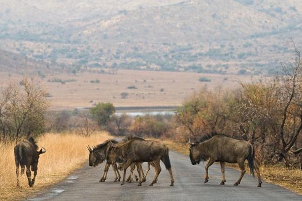 Herds crossing road.